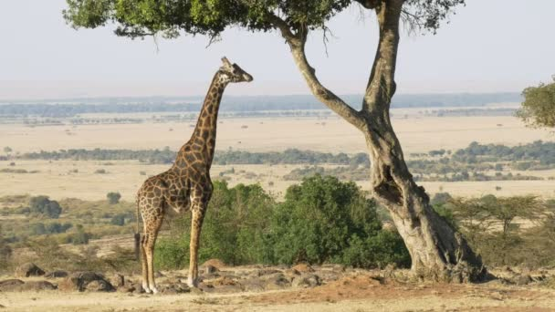 široký záběr žirafé žvýkací lístky v Masai Mara