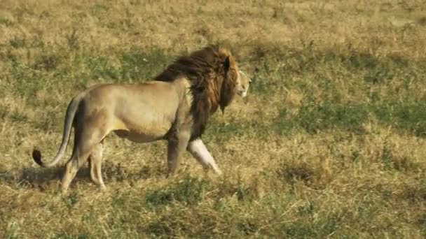 a male lion walks away from the camera and then stops and watches something in masai mara