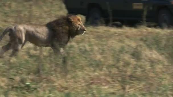 egy férfi oroszlán menekszik a riválisok a Masai Mara játék tartalék