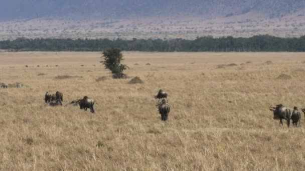 wildebeest on their annual migration in masai mara game reserve