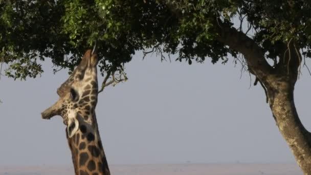 uzavření žirafu pomocí jazyka k krmení v rezervaci Masai Mara