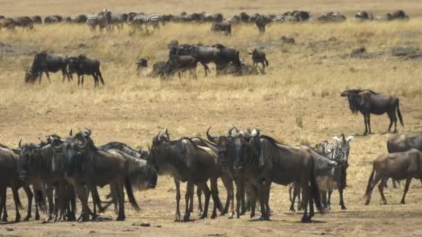 wildebeest herd at the mara river in masai mara, kenya