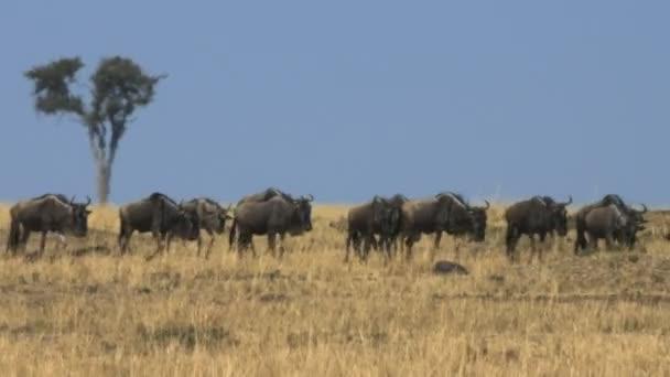 nejdivoší migrace přes savanu s vlnami veder v rezervaci Masai Mara