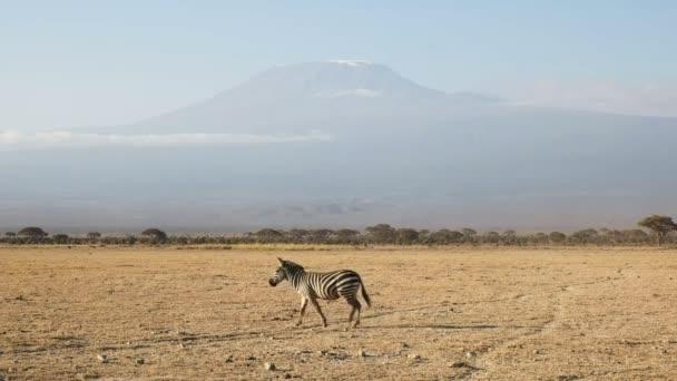 Zebra Procházka s Kilimandžára v dálce v Amboseli, Keňa