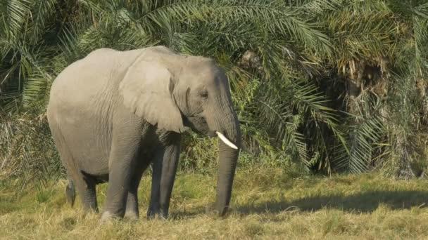 közelről egy elefánt etetés előtt pálmalevelek a Amboseli