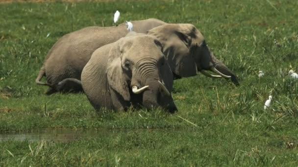 két elefántok etetés együtt egy mocsárban az Amboseli