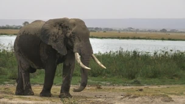 bika elefánt álló közel egy mocsár at Amboseli