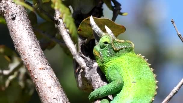 close up of a jacksons chameleon in a tree on the island of hawai