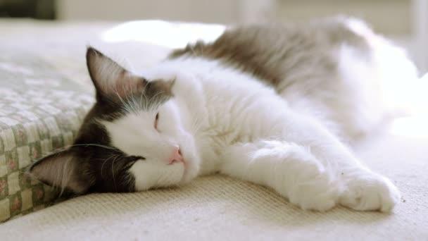 Domestizierte Tiere Pelzige Weiße Katze Mit Schwarzen Flecken