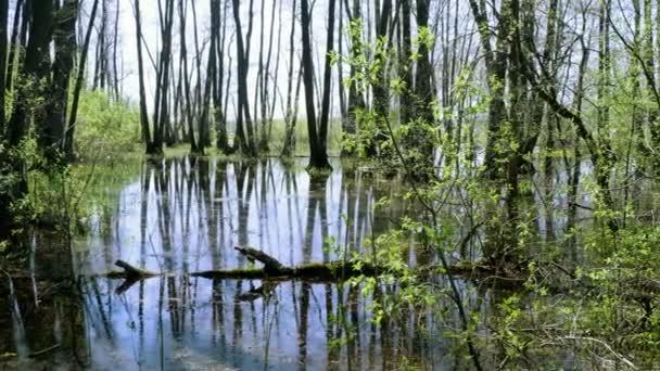 Krajinu lužního lesa s marsh a stromy. Jarní povodeň na řece. 4k