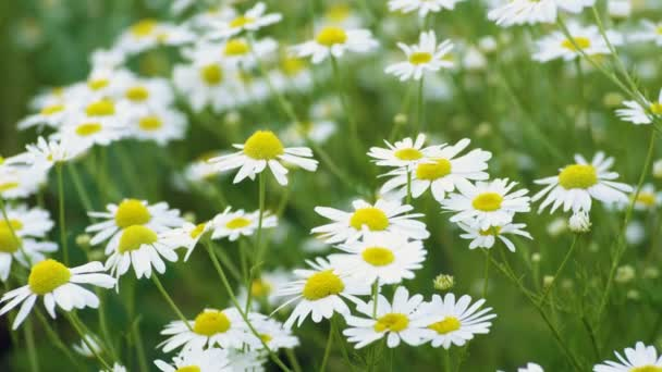 Wild flowers. Close-up shot of blooming white daisies in the summer field. 4K