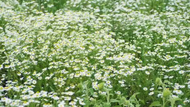 Divoké květiny. Střední záběr rozkvetlých kopretin v poli v létě. 4k