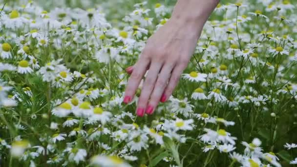 Wild flowers. Close-up shot of a woman running her hand through meadow with white daisies. Slow motion. HD