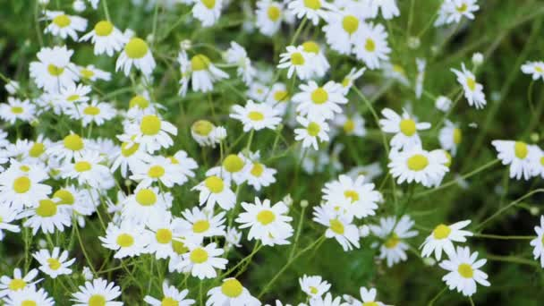 Wild flowers. Close-up shot of blooming white daisies in the summer field. Slow motion. HD