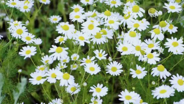 Wild flower meadow. Close-up shot of blooming white camomiles in the summer field. Slow motion. HD