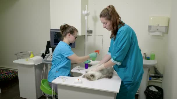 Pet is on appointment at veterinarian. Taking blood for analysis in persian cat with a catheter. 4K