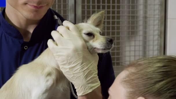 Léčba zlomená tlapa pes chihuahua dva veterináři na veterinární klinice. Zlomenou nohu připevněn pomocí kovových fixátor. 4k