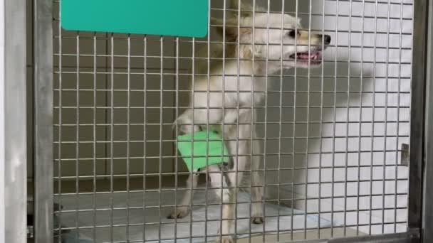 Háziállatok. Zár-megjelöl szemcsésedik-ból chihuahua kutya ül a ketrecben, a állatorvos rendelőintézet. 4k
