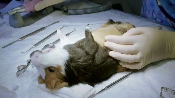 Haustiere. Tierarzt reinigt Mund und Zähne von Meerschweinchen unter Narkose in Tierklinik von Zahnstein. 4k