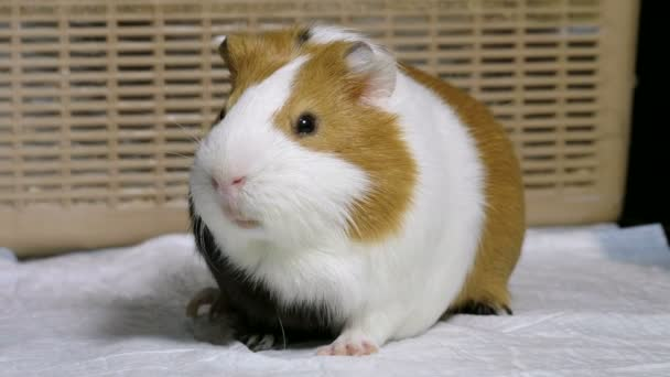 Pets. Close-up shot of guinea pig is in the cage of veterinary clinic. 4K
