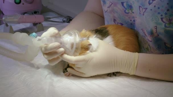 VET Příprava pokusného králíka na chirurgii, uvedení na tlamě kyslíkovou masku pro celkové anestezie. 4k