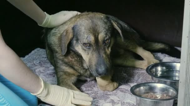 Veterinář při práci. Ženských rukou hladil čenich toulavý pes ležící v kleci veterinární kliniky. 4k