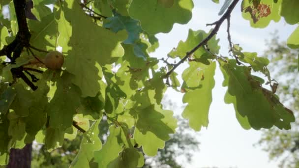 Close-up shot of green leaves on branches of oak tree in the rays of the sun. Slow motion. HD