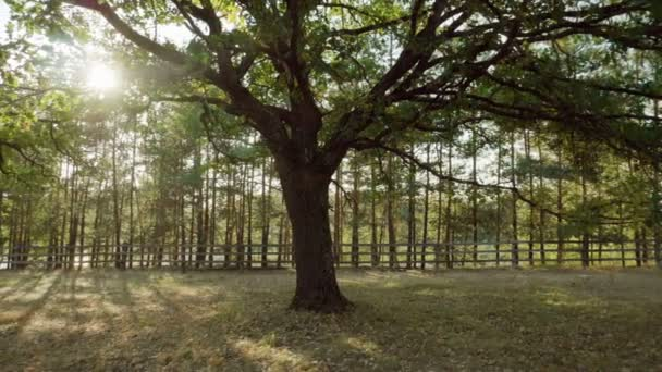 Panorama of oak tree with green leaves and a thick trunk growing in autumn forest. Slow motion. HD