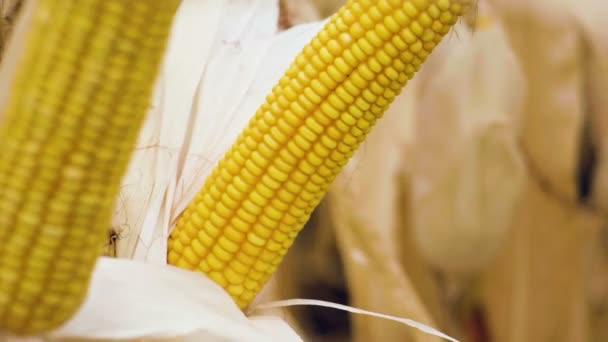Pole zralého obilí. Detailní záběr dvě uši kukuřice roste na stéblech. Zpomalený pohyb. HD