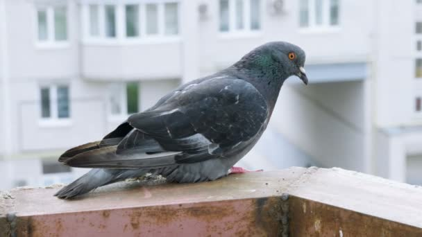 Close-up shot of blue pigeon sitting on the balcony. 4K