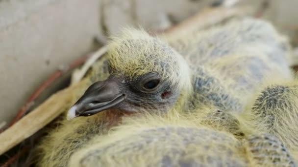 Hnízdící. Rozený záběr dvou novorozenců, kteří sedí v hnízdě. 4k