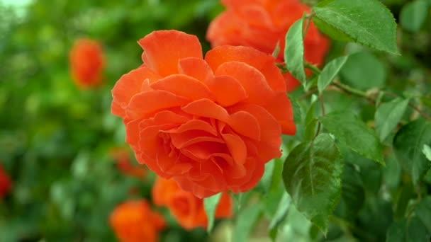 Virágos kert. Közeli lövés a narancs virágzó Rózsa bimbó. Lassított. Hd