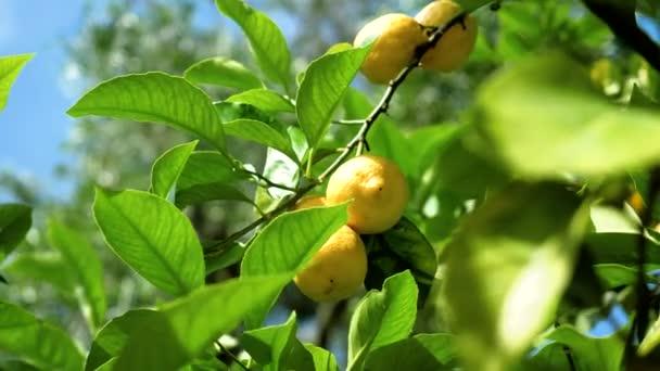 Šťavnaté žluté citrony visící na větvích citronu. Řecko. 4k