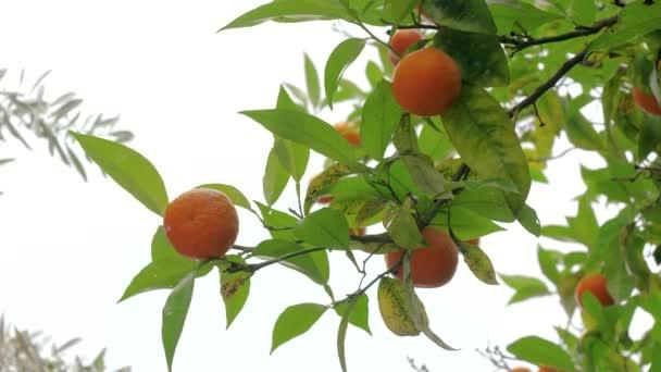 Nahaufnahme von saftigen reifen Orangen, die an Ästen eines Orangenbaums hängen. Griechenland. 4k