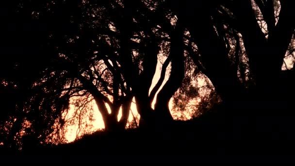 Silueta olivovníků v Řecku při západu slunce. Korfu. 4k