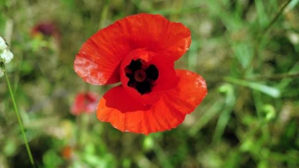 Kvetoucí květiny. Detailní záběr kvetoucích pupenů červených máků. Řecko. 4k