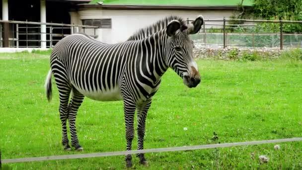 Zebra legel egy zöld réten. 4k