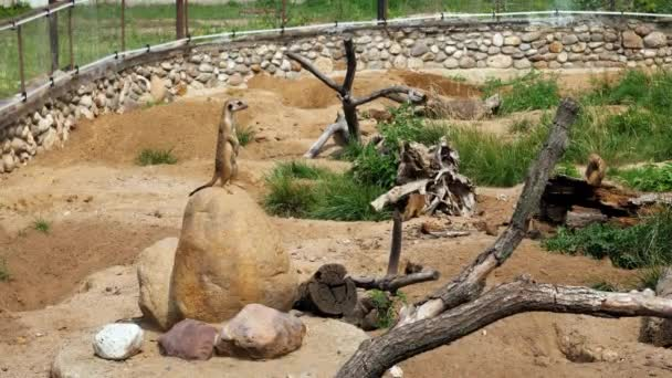 Lustige Tiere. vier Erdmännchen unter natürlichen Bedingungen im Reservat. 4k
