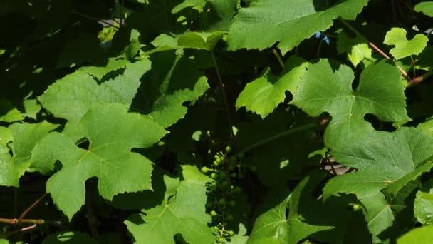 Hrozny révy vinné, Wineyard: zralých vinných hroznů na révě pro výrobu bílého vína. Sklizeň vinných hroznů v Itálii. Italská krajina nádherná vinice.