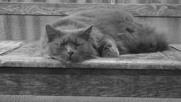 szürke bolyhos macska, megpróbál aludni a fa felületen, monokróm videó, 4k