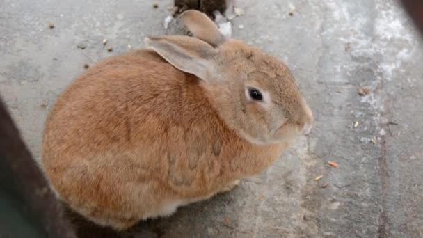 Rotes Kaninchen auf Betongrund bewegt die Nase