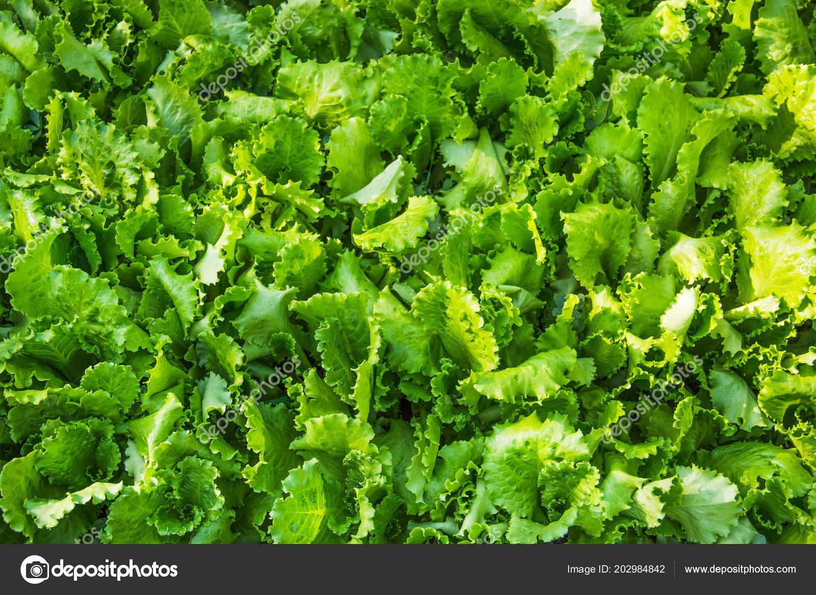 Organic Lettuce Home Garden Natural Salad Background Fresh Crunchy Lettuce  U2014 ストック写真