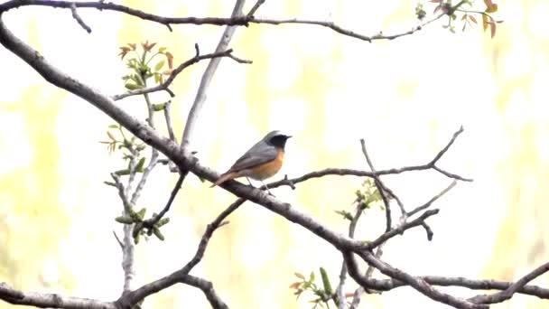 Hausrotschwanz, Vogelgezwitscher im Baum, Frühling. der Hausrotschwanz sitzt auf einem Ast und singt im Garten.