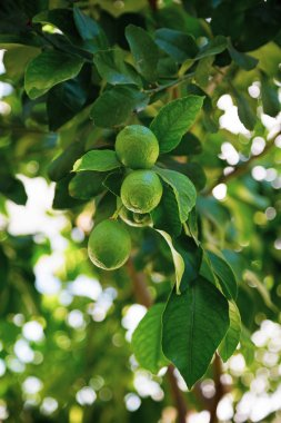 Green lemon hanging on a tree with leaves in the sun