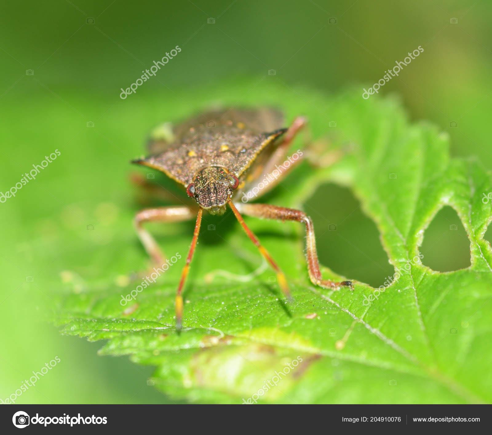 Forest Bug Sitting On A BranchHe Hunts PreyIts Bloodsucker Insect Photo By Parasunakyandexru