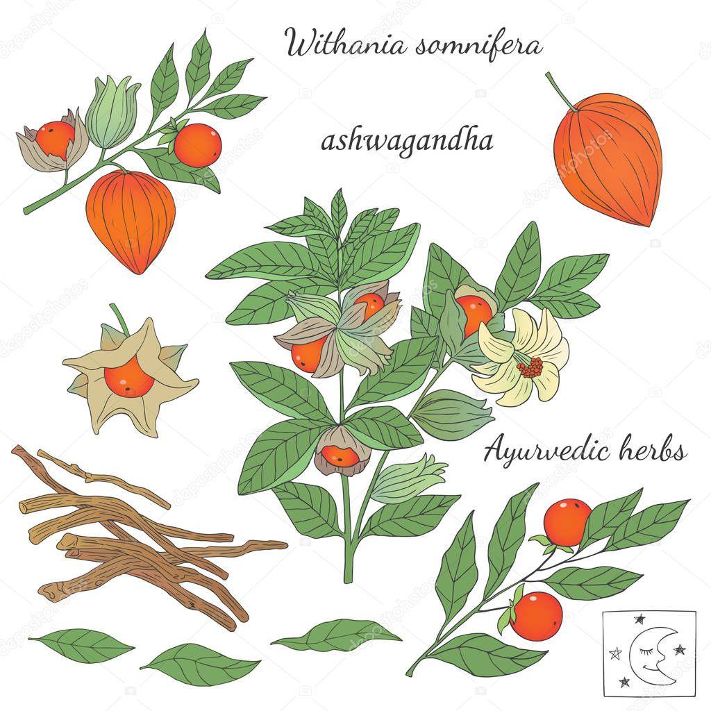 Hand drawn illustration of ashwagandha