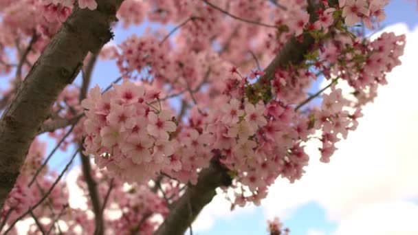 Cherry Blossom 3 Axis Dolly Shot Of Spring Flowers Pan a naklonit vpravo
