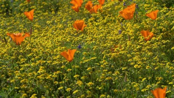 Kalifornische Goldfelder und Mohnblumen Super Bloom Antelope Valley