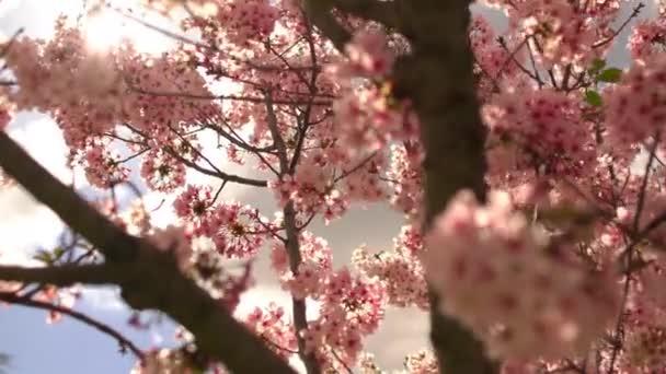 Jarní sezóna Třešňový květ Strom 3 Osa Dolly Shot Pan a naklonit vpravo