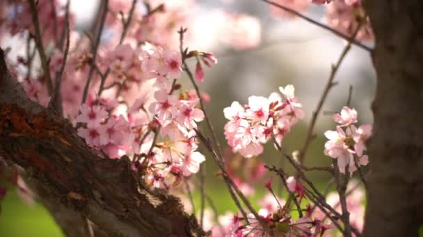 Cherry Blossom 3 Axis Dolly Shot Of Spring Flowers Pan a naklonit vlevo